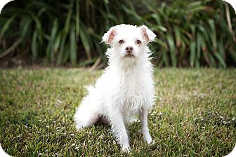 Terrier (Unknown Type, Small) Mix Dog for adoption in Seattle, Washington - Zef