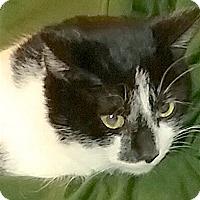 Adopt A Pet :: Oreo - Pulaski, TN