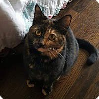 Calico Cat for adoption in Garden City, Michigan - Calli Lilly