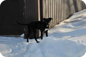 Labrador Retriever Mix Dog for adoption in Saskatoon, Saskatchewan - Bella