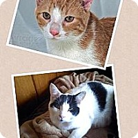 Domestic Shorthair Cat for adoption in Roanoke, Virginia - REESE AND TROOPER - currently in a foster home
