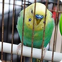 Adopt A Pet :: Benny - Shawnee Mission, KS