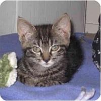 Adopt A Pet :: Cuddles - Davis, CA