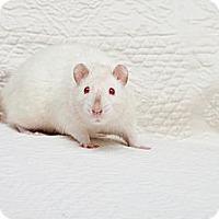 Adopt A Pet :: Snow White - Boise, ID