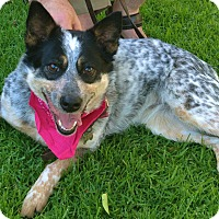 Australian Cattle Dog Dog for adoption in Woodland Hills, California - Pretty Queenie-VIDEO