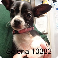 Adopt A Pet :: Selena - baltimore, MD