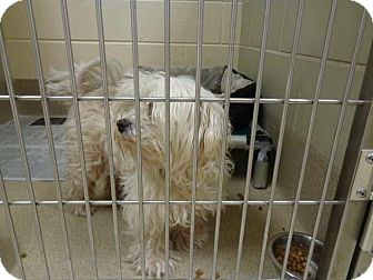 Maltese Dog for adoption in Virginia Beach, Virginia - Mr. Muffin