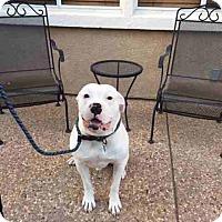American Bulldog Dog for adoption in Morgan Hill, California - Mojo