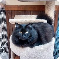 American Shorthair Cat for adoption in Hamburg, New York - LuLu