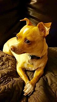 Chihuahua Dog for adoption in Los Angeles, California - Joey- female