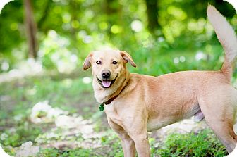 Labrador Retriever Mix Dog for adoption in Lewisville, Indiana - Scout