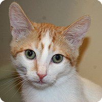 Adopt A Pet :: Tiger - Palm desert, CA