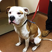 American Staffordshire Terrier Mix Dog for adoption in Prospect, Connecticut - Bo