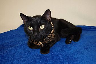 Domestic Shorthair Cat for adoption in Jackson, Mississippi - Smudge