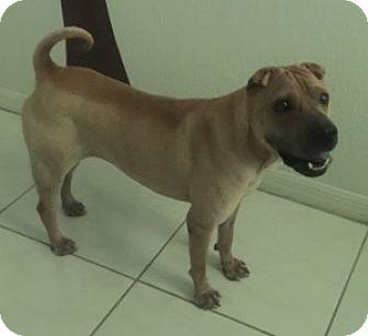 Shar Pei Dog for adoption in Gainesville, Florida - Khalessi