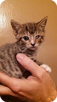Domestic Shorthair Kitten for adoption in Parkton, North Carolina - Tippy