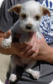 Chihuahua/Terrier (Unknown Type, Small) Mix Puppy for adoption in Corona, California - TULIP
