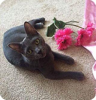 Domestic Shorthair Cat for adoption in Horsham, Pennsylvania - Cheyanne - Adoption Pending