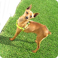 Miniature Pinscher Dog for adoption in House Springs, Missouri - Leta
