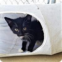 Domestic Shorthair Kitten for adoption in Umatilla, Florida - Alfie
