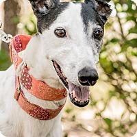 Adopt A Pet :: Sueyork Sueyork - Gainesville, FL