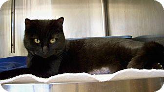 European Burmese Cat for adoption in Dover, Ohio - Ester