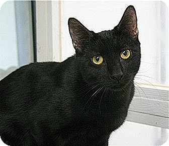 Domestic Shorthair Cat for adoption in Huntington, New York - Hugo