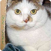 Adopt A Pet :: Snowball - Quincy, MA