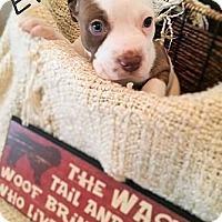 Adopt A Pet :: Eva - Austin, TX
