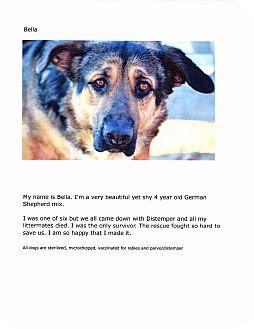 German Shepherd Dog Mix Dog for adoption in Phoenix, Arizona - Bella