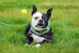 Boston Terrier Dog for adoption in Mead, Washington - Bruce