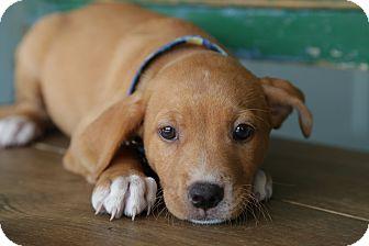 Labrador Retriever Mix Puppy for adoption in San Antonio, Texas - Lucas