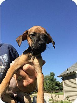 Dachshund/Chihuahua Mix Puppy for adoption in Memphis, Michigan - Swan