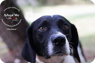 Hound (Unknown Type)/Pointer Mix Dog for adoption in New Milford, Connecticut - Jackson