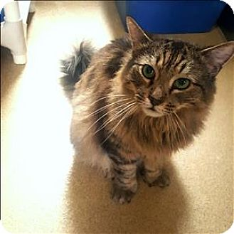 Maine Coon Cat for adoption in Riverside, California - Monty