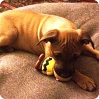 Labrador Retriever/Black Mouth Cur Mix Puppy for adoption in DeLand, Florida - PUPPY-APRIL