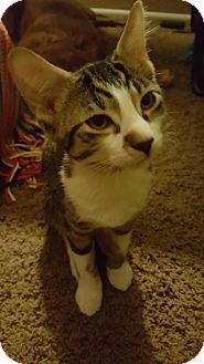 Domestic Mediumhair Kitten for adoption in Mesa, Arizona - Rocky