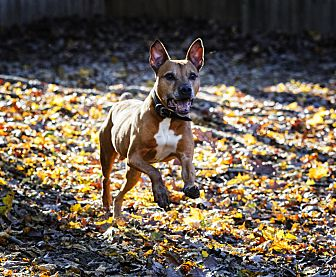 Boxer/Staffordshire Bull Terrier Mix Dog for adoption in Madison, Wisconsin - Rico