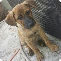 Adopt A Pet :: Tie Dye - Royal Palm Beach, FL