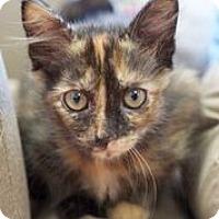 Domestic Mediumhair Kitten for adoption in Huntsville, Alabama - Hermione