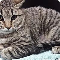 Adopt A Pet :: Clue - Hawk Point, MO