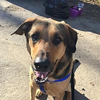 German Shepherd Dog Mix Dog for adoption in Asheville, North Carolina - Cedar