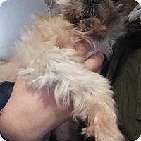 Shih Tzu Dog for adoption in Lewistown, Pennsylvania - Lotti