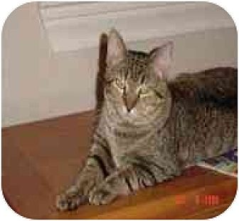 Domestic Shorthair Cat for adoption in Houston, Texas - Turbo