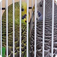 Adopt A Pet :: Over 50 Parakeets! - Villa Park, IL