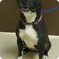Adopt A Pet :: Black Dog - Gary, IN