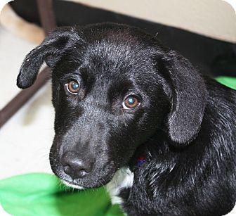 Sparta Nj Labrador Retriever Border Collie Mix Meet Spring A Puppy For Adoption