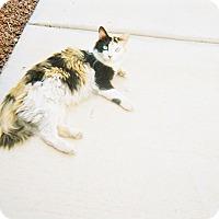 Domestic Longhair Cat for adoption in Mesa, Arizona - RUFI