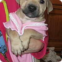 Adopt A Pet :: Sophie-adoption pending - Schaumburg, IL