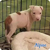 Adopt A Pet :: Alpine - Marietta, GA